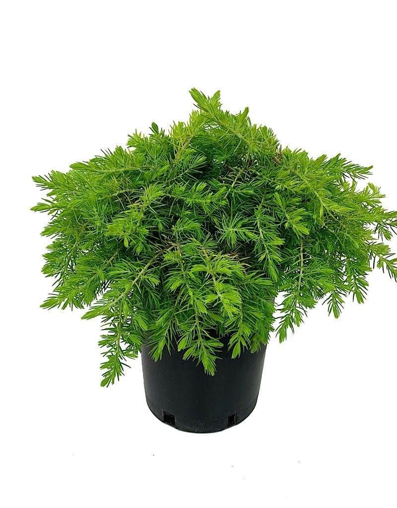 Juniperus conferta 'All Gold' - 1 gal