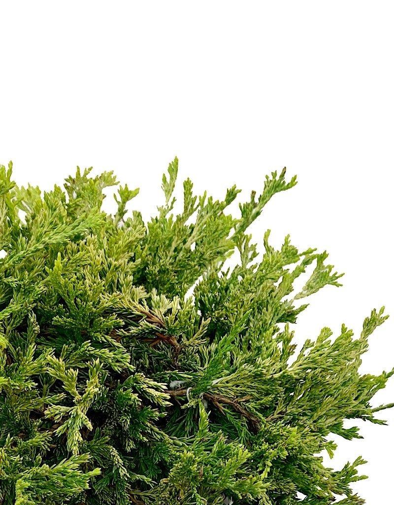 Juniperus horizontalis 'Gold Strike' - 1 gal