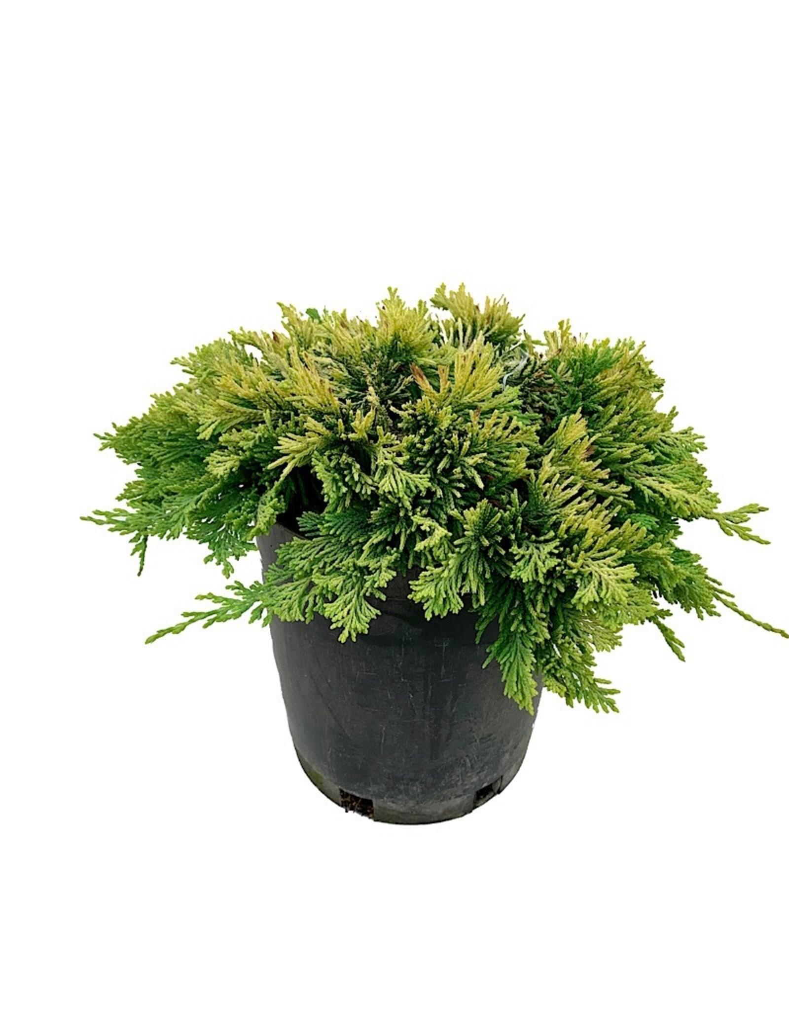 Juniperus horizontalis 'Mother Lode' - 1 gal