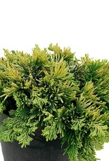 Juniperus horizontalis 'Mother Lode' - 1 gal