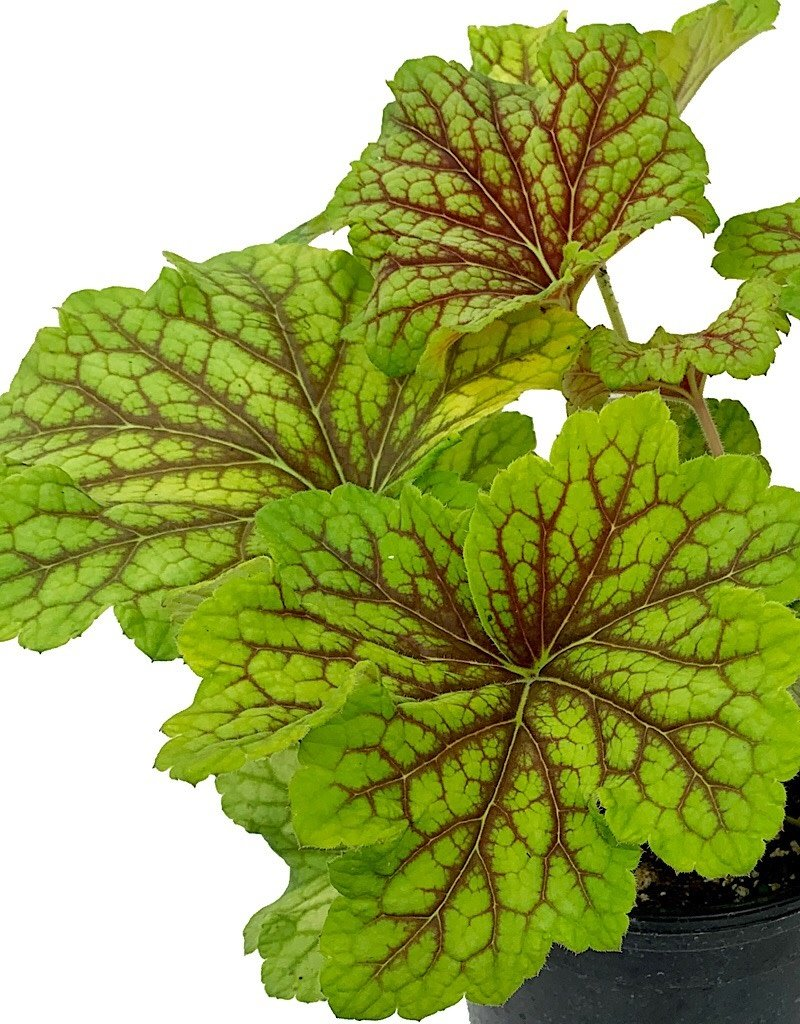 Heuchera 'Red Lightening' - 1 gal