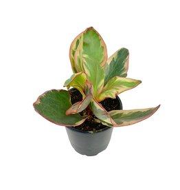 Peperomia obtusifolia 'Ginny' - 4 inch