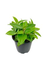 Peperomia obtusifolia 'Lime' - 4 inch