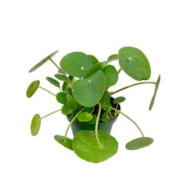 Pilea peperomioides 4 Inch