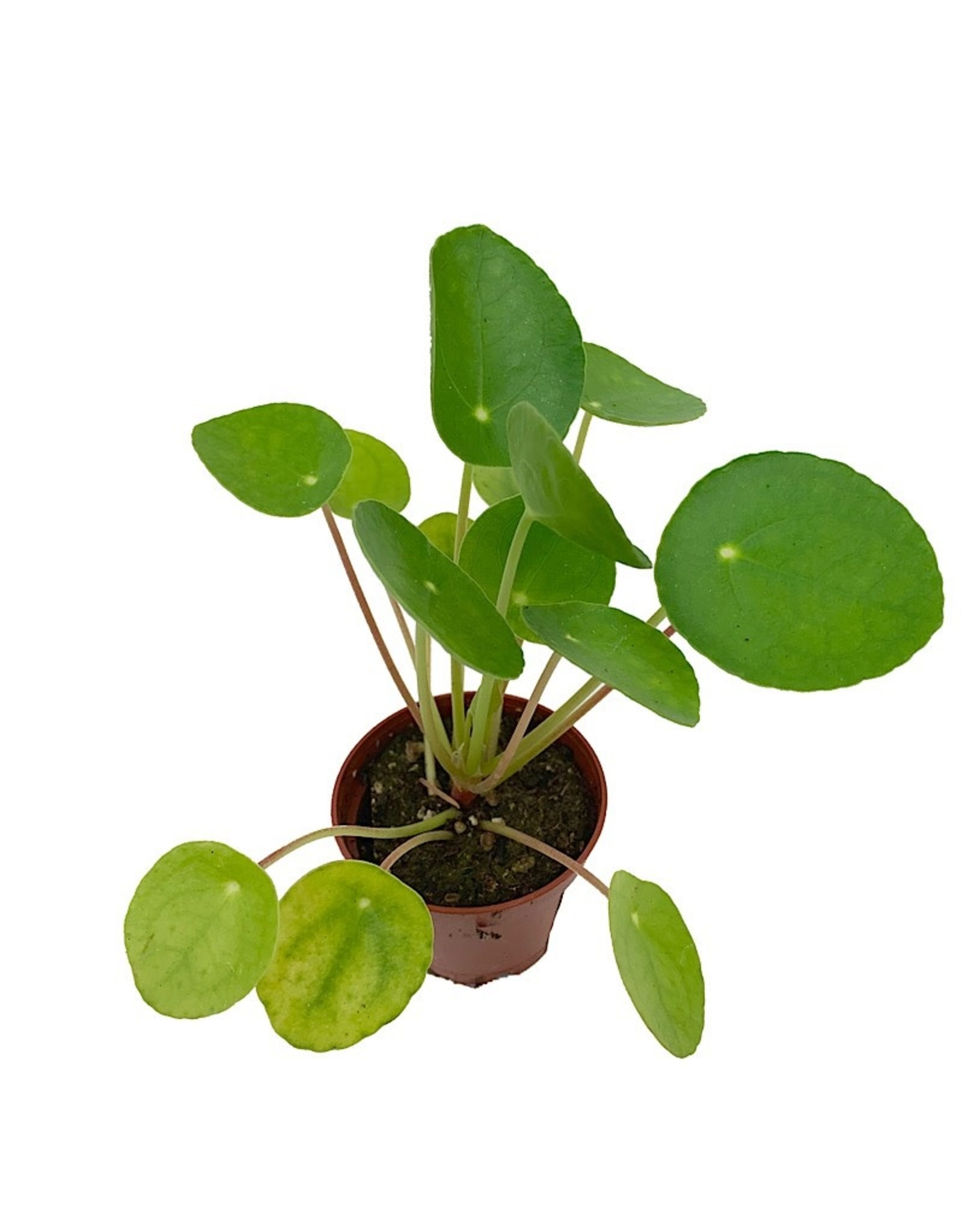 Pilea peperomioides - 2 inch