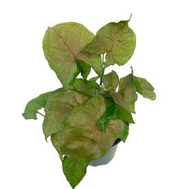 Syngonium podophyllum 'Candyberry' - 4 inch