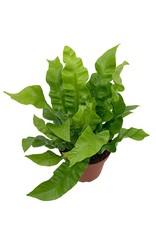 Asplenium nidus 4 Inch