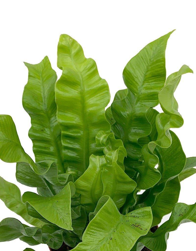 Asplenium nidus - 4 inch
