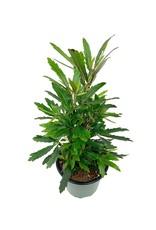 Plerandra elegantissima - 4 inch