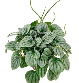 Peperomia griseoargentea - 6 inch