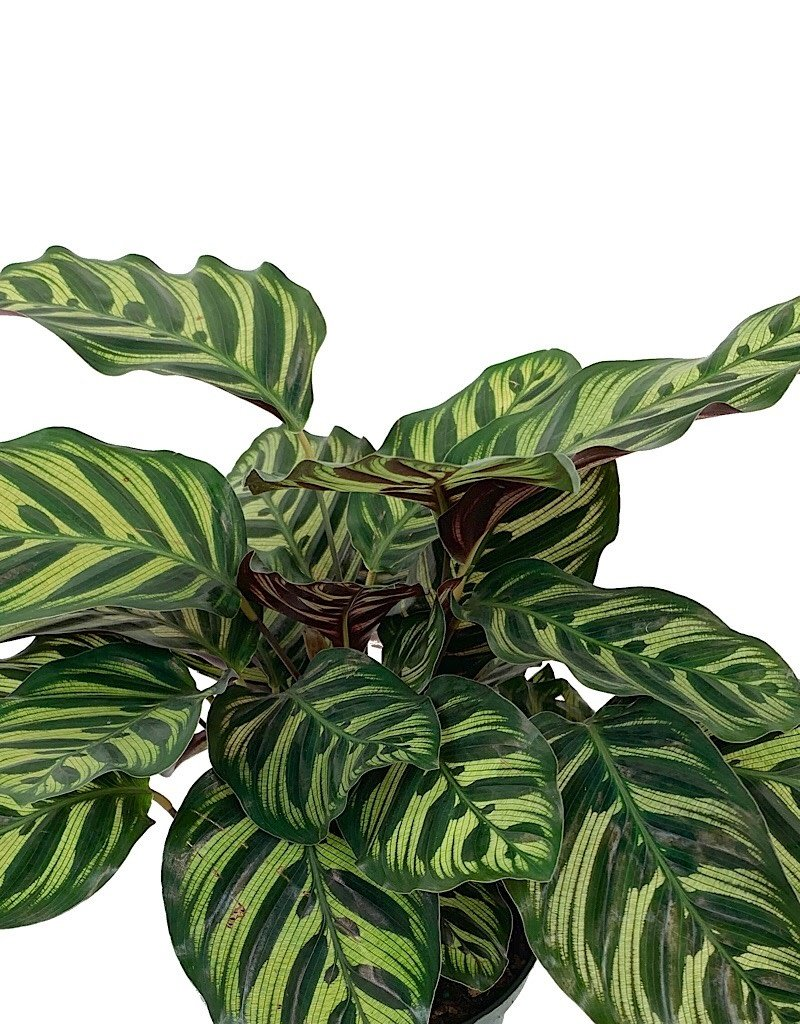 Calathea makoyana - 6 inch
