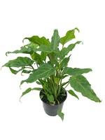 Philodendron 'Xanadu'  6 inch