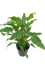 Philodendron 'Xanadu' - 6 inch