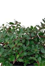 Arctostaphylos 'Emerald Carpet' - 1 gal