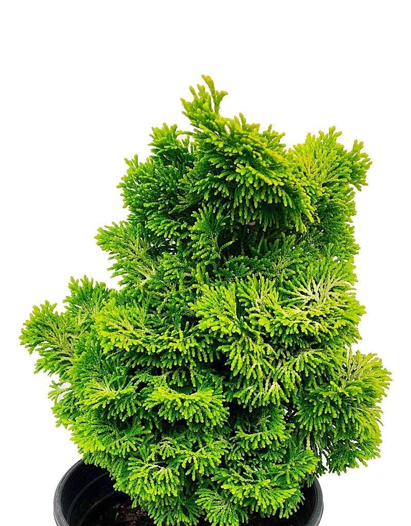 Chamaecyparis obtusa 'Nana Lutea' - 1 gal