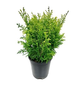 Chamaecyparis pisifera 'Cream Ball' - 1 gal