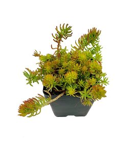 Sedum reflexum 'Yellow Cushion' - 4 inch
