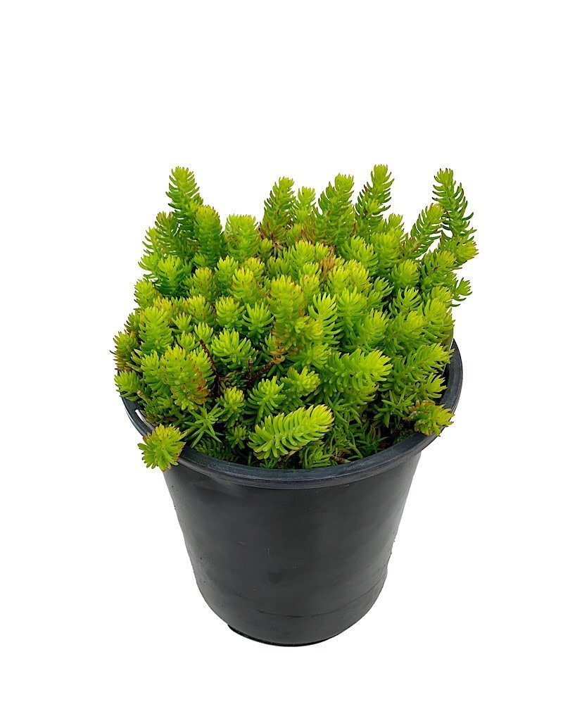 Sedum 'Angelina's Teacup' - 1 gal