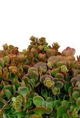 Sedum tetractinum 'Coral Reef' - 1 gal