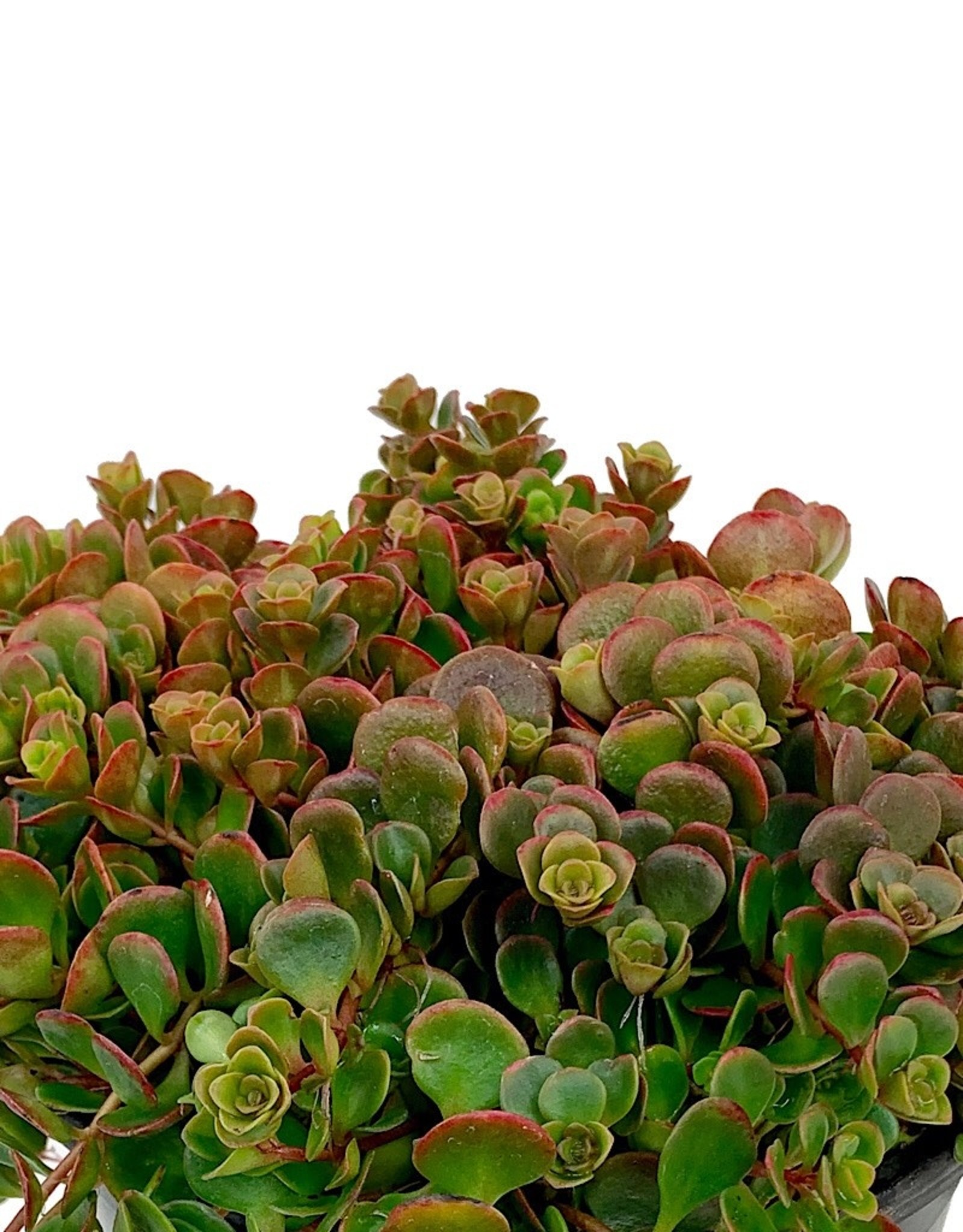 Sedum tetractinum 'Coral Reef' - 1 gal