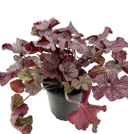 Heuchera 'Northern Exposure Silver' - 1 gal