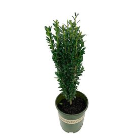 Ilex crenata 'Sky Pencil' 1 Gallon
