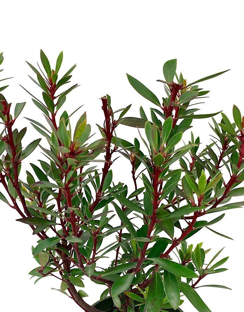 Drimys lanceolata - 1 gal