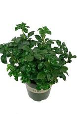 Pachysandra terminalis 'Green Sheen' - 1 Gal