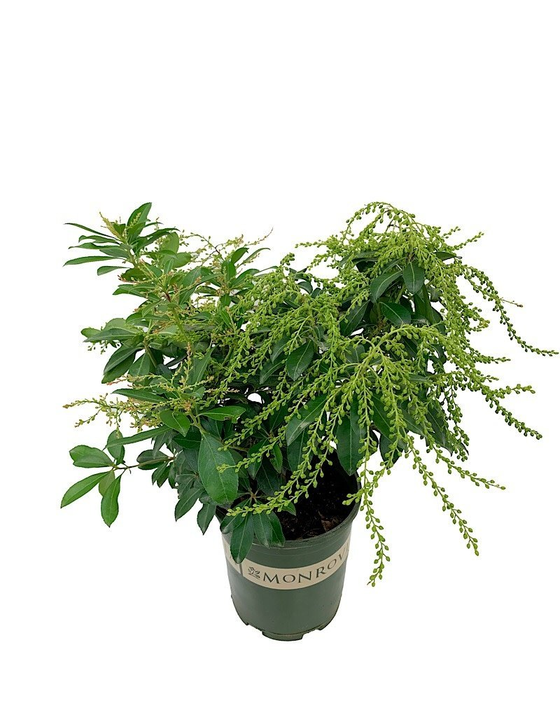 Pieris japonica 'Sunsprite' - 1 gal