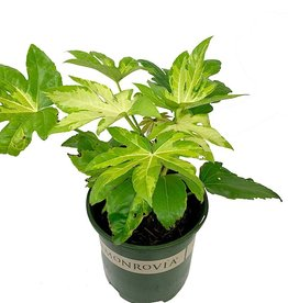 Fatsia japonica 'Camouflage' - 2 gal