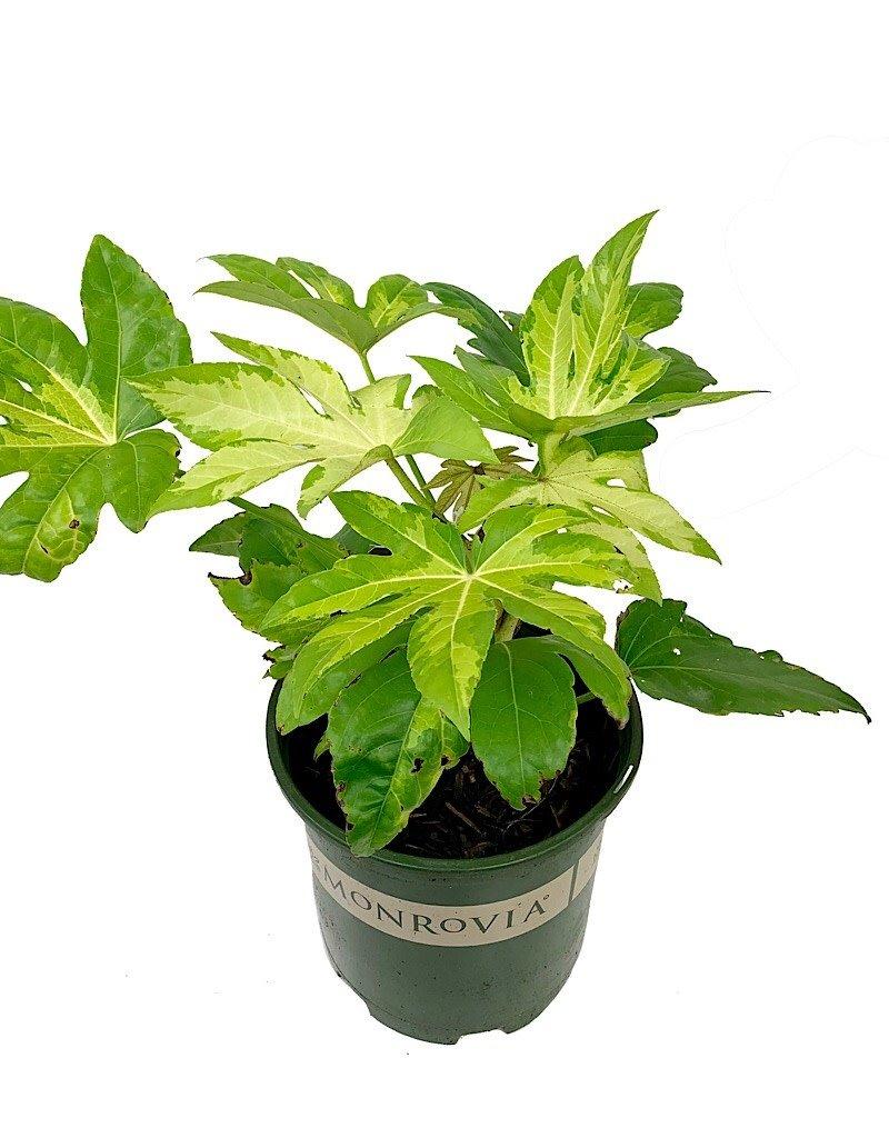 Fatsia japonica 'Camouflage' - 2 gal
