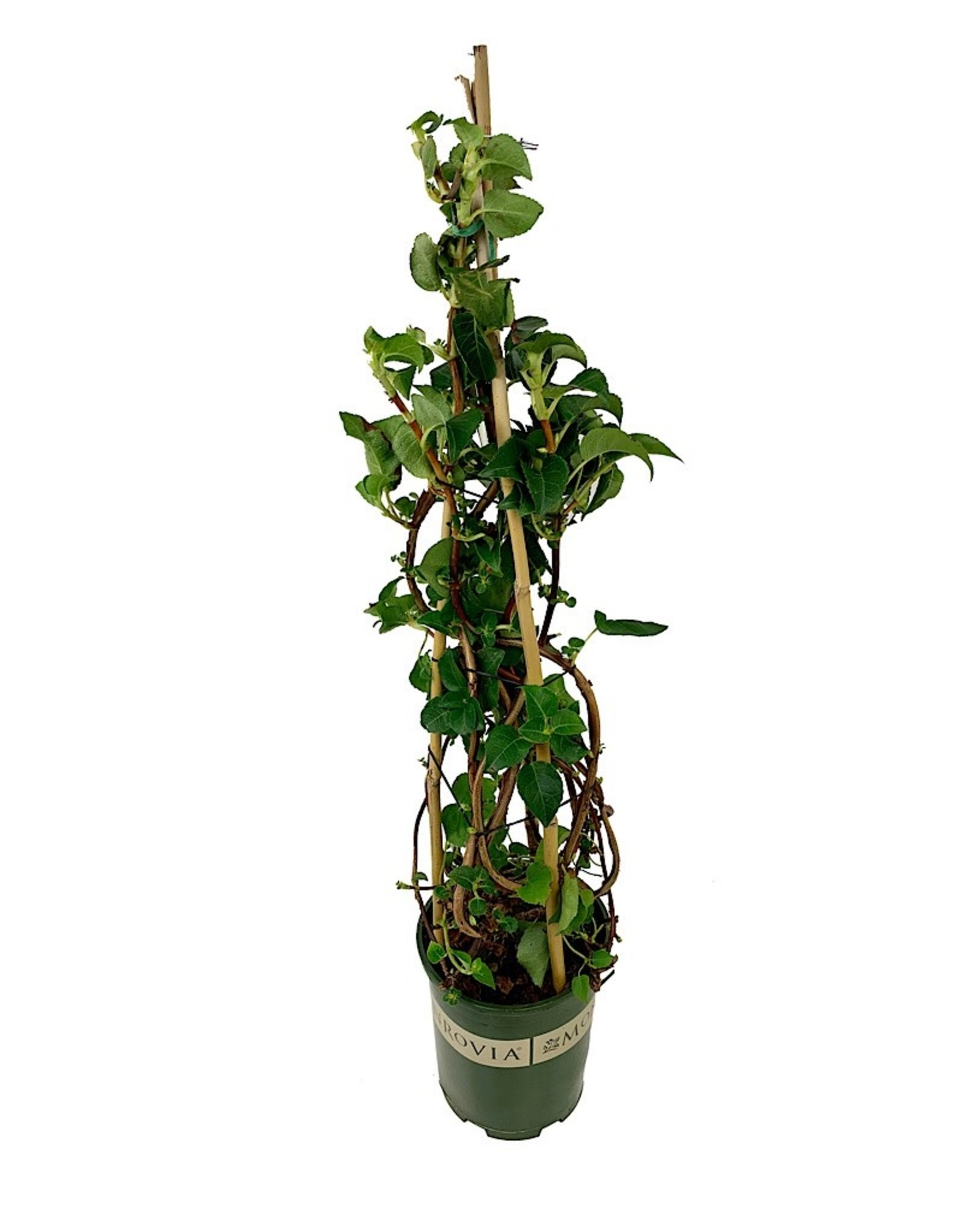 Hydrangea anomala petiolaris 1 Gallon