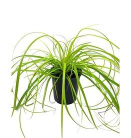 Carex o. 'EverColor Everillo' - Quart
