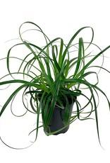 Carex 'Ribbon Falls' - Quart