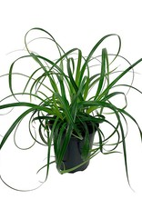 Carex 'Ribbon Falls' - Quart
