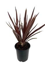 Cordyline australis 'Red Star' - Quart
