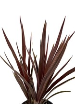 Cordyline australis 'Red Star' Quart