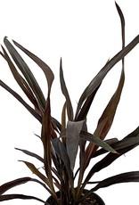 Cordyline australis 'Renegade' - Quart