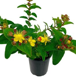 Hypericum in. 'Magical Triumph' - Quart