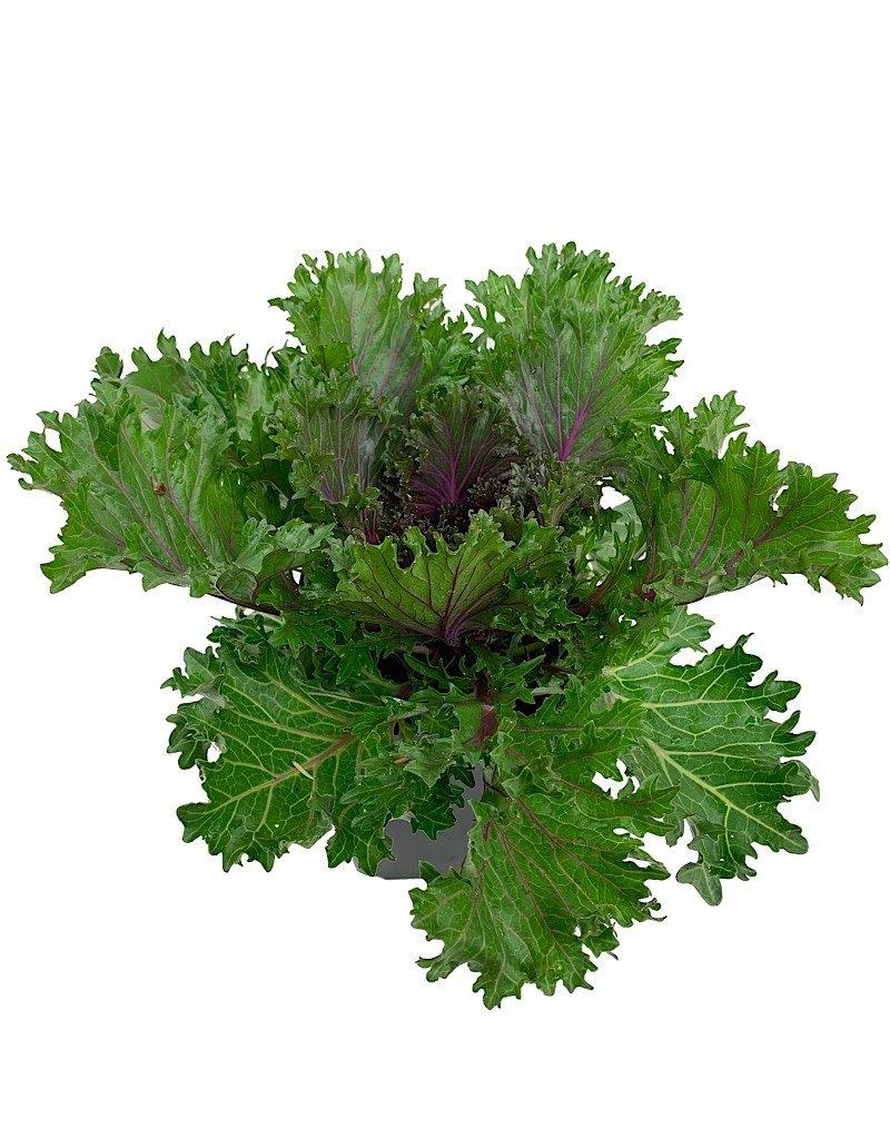 Kale 'Glamour Red' - 1 Gal