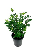Gardenia jasminoides 'Kleim's Hardy'  1 Gallon