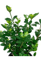 Gardenia jasminoides 'Kleim's Hardy' - 1 Gal