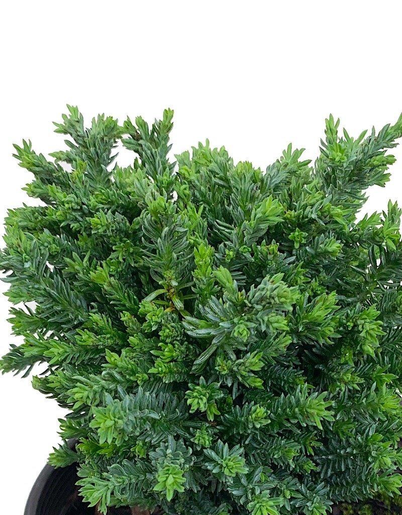Chamaecyparis lawsoniana 'Rimpelaar' - 1 Gal