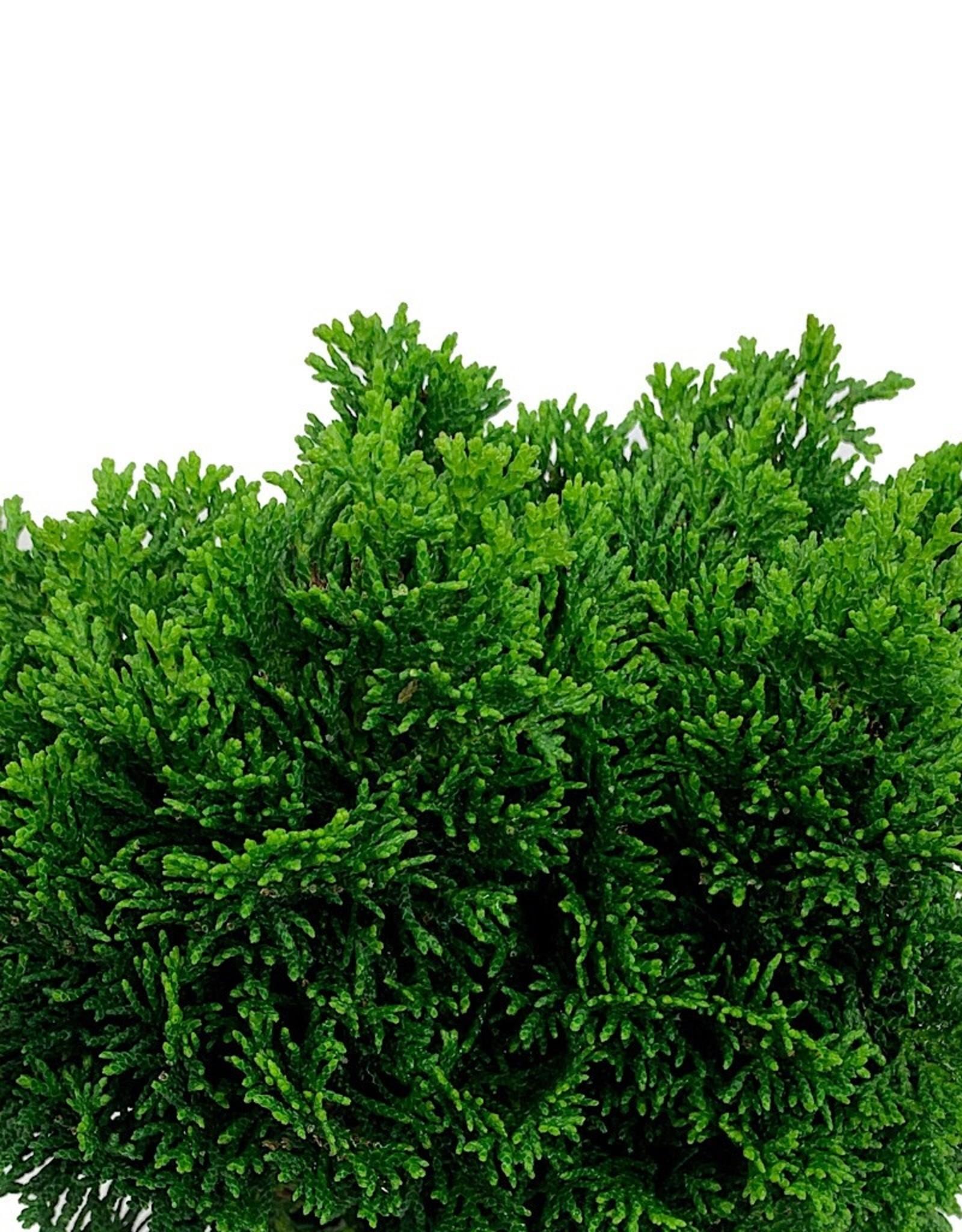 Chamaecyparis obtusa 'Stoneham' - 1 Gal