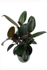 Ficus elastica 'Burgundy' - 6 inch
