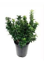 Euonymus j. 'Green Spire' - 1 Gal