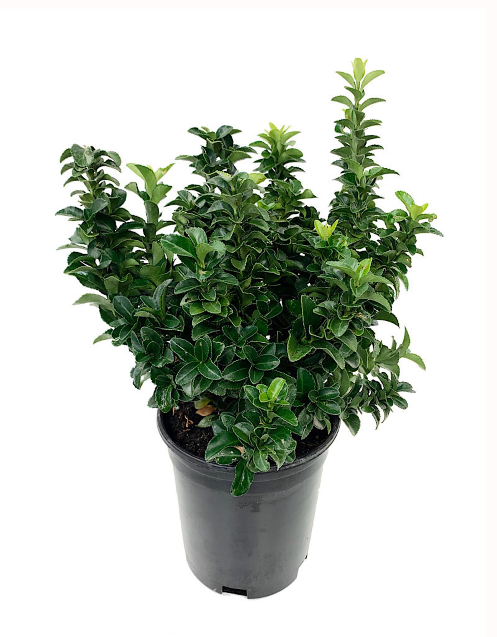 Euonymus japonicus 'Green Spire' 1 Gallon