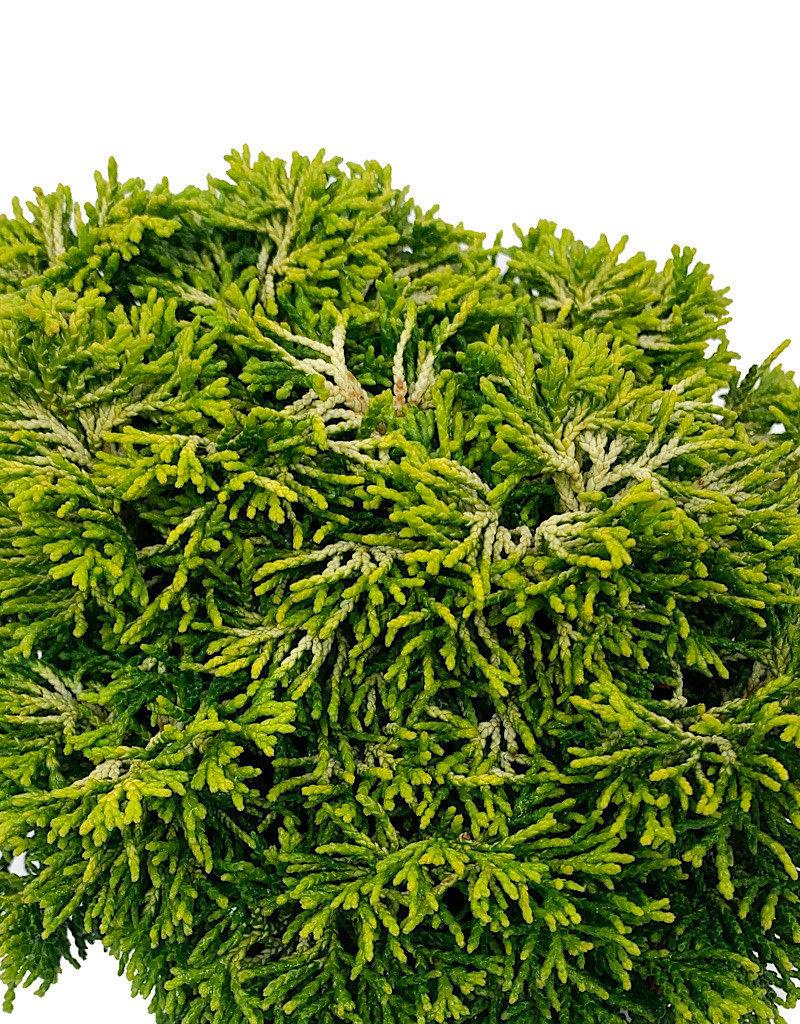 Chamaecyparis obtusa 'Butterball' - 4 inch