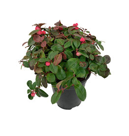 Gaultheria p. 'Peppermint Pearl' - 1 gal