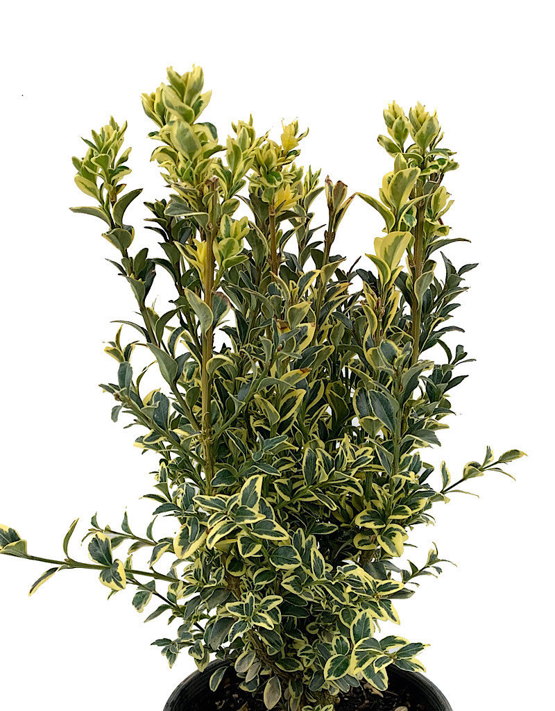 Buxus sempervirens 'Aureo variegata' - 1 Gal